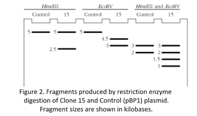 BHS004-3 Restriction Enzyme Mapping & Forensic PCR Analysis